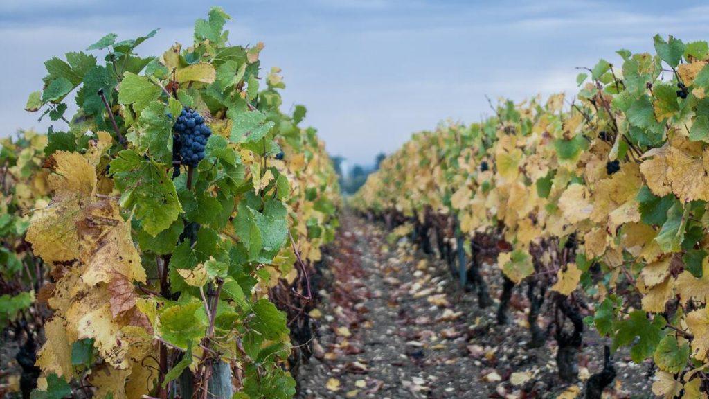 Pieds de vigne en Bourgogne