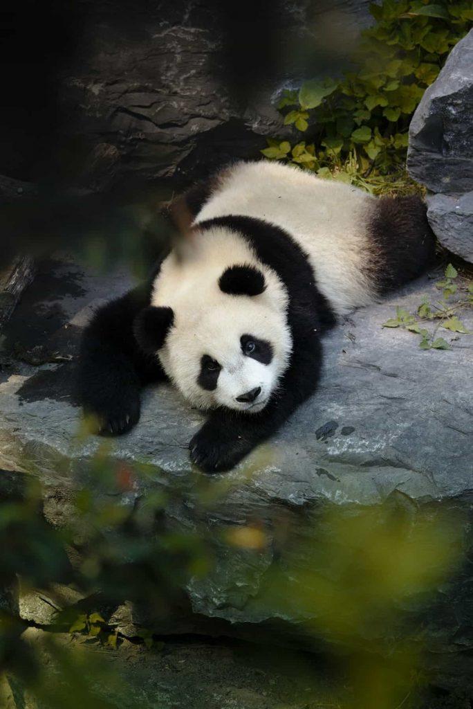 panda géant allongé sur une pierre